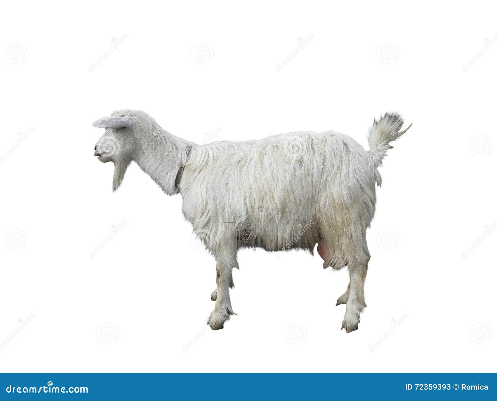 在外形isolatet的幼小山羊在白色背景