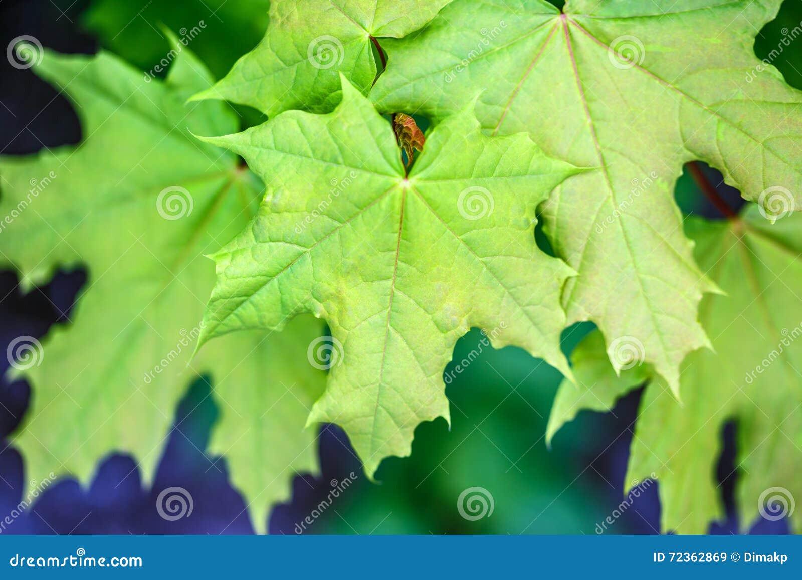 在外部的槭树叶子