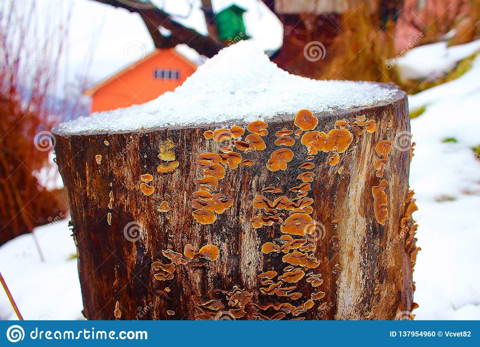 在多雪的蜂房的蘑菇