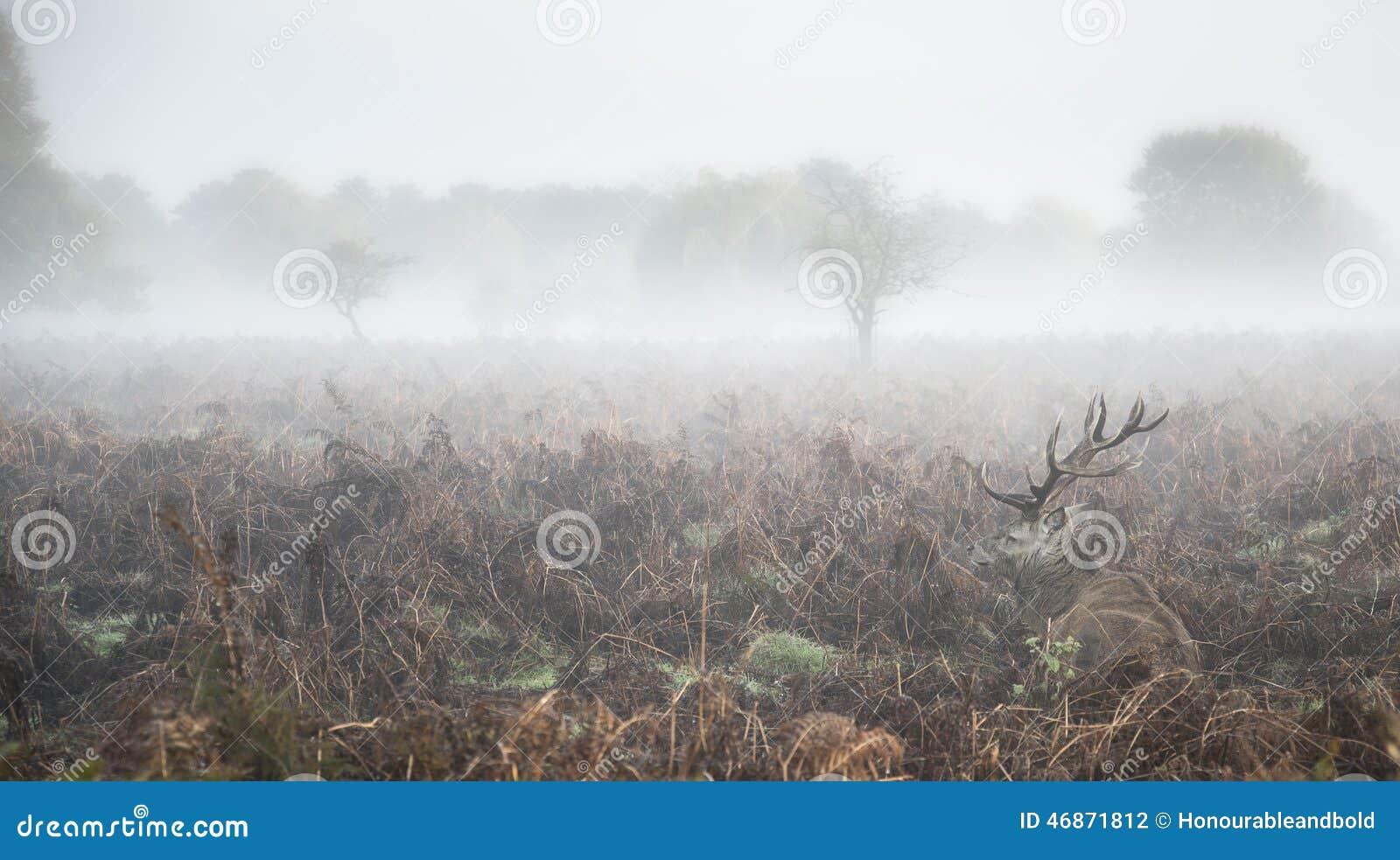 在大气有雾的秋天风景的马鹿雄鹿