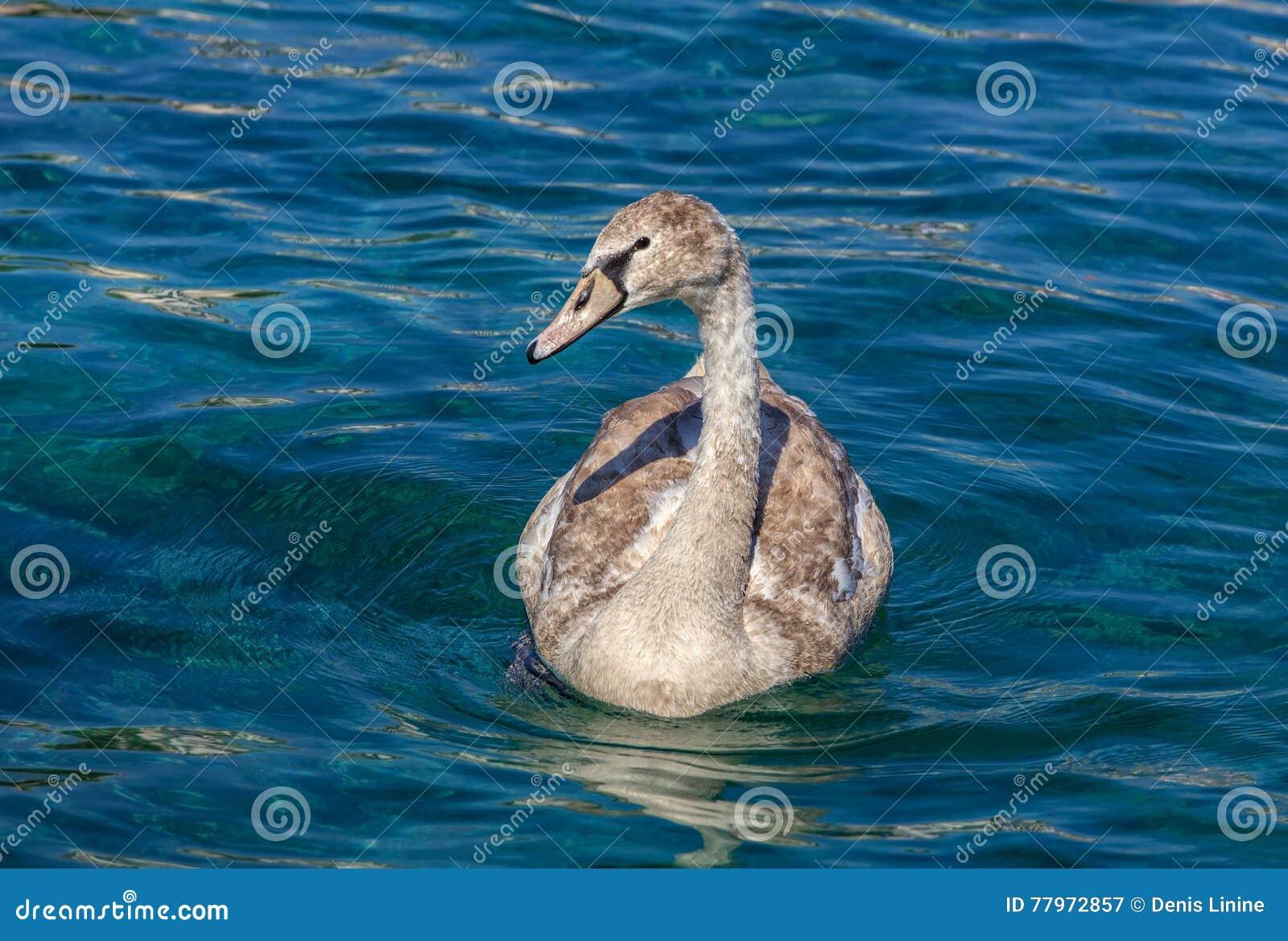 在大海的年轻天鹅游泳