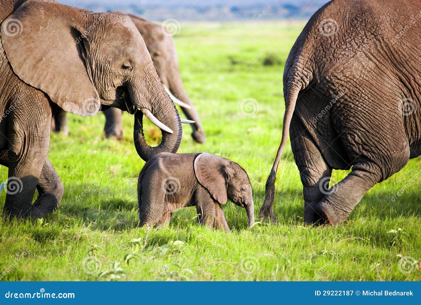 在大草原的大象系列。 徒步旅行队在Amboseli,肯尼亚,非洲