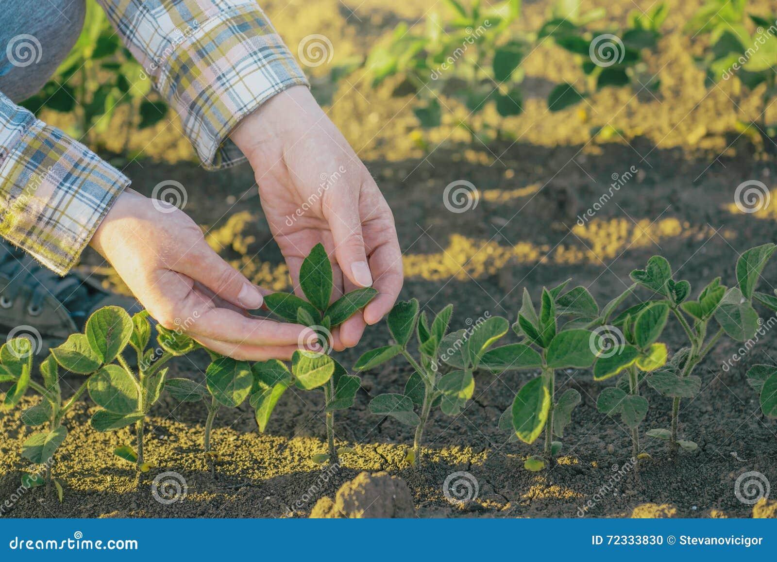 在大豆的女性农夫的手调遣,负责任种田