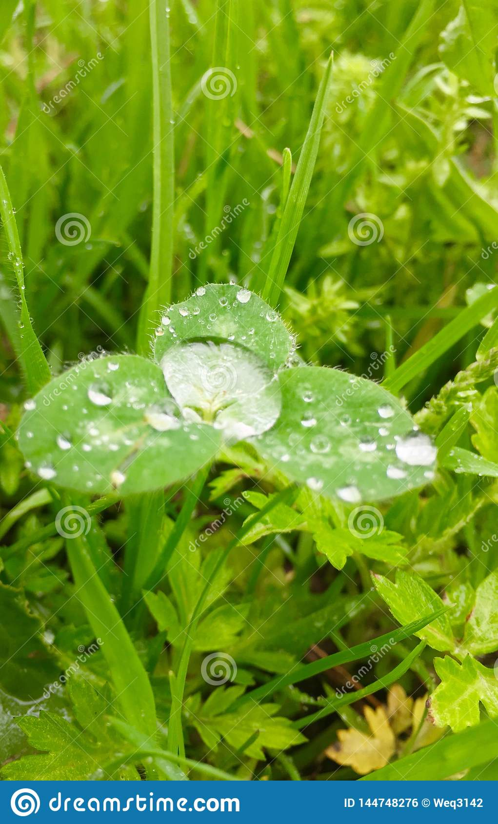 在大雨以后的三叶草