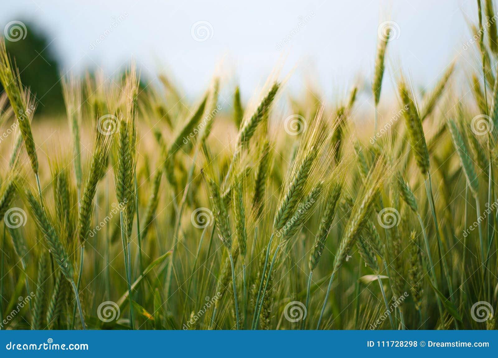 在天空中的Geen麦子在夏日