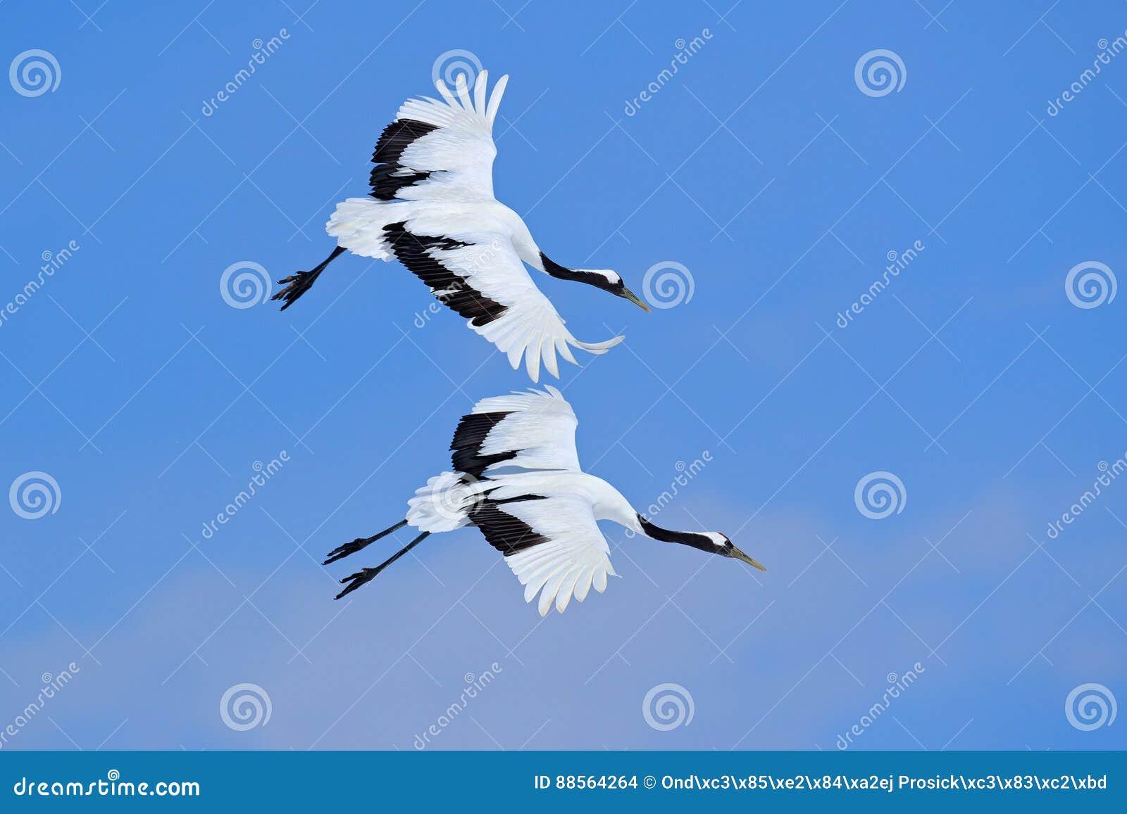 在天空的两只鸟 飞行的白色两鸟红加冠了起重机,粗碎屑japonensis,与开放翼,与白色云彩的蓝天在bac中