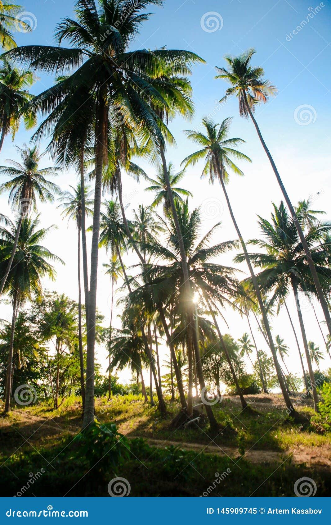 在天空蔚蓝下的椰子树丛