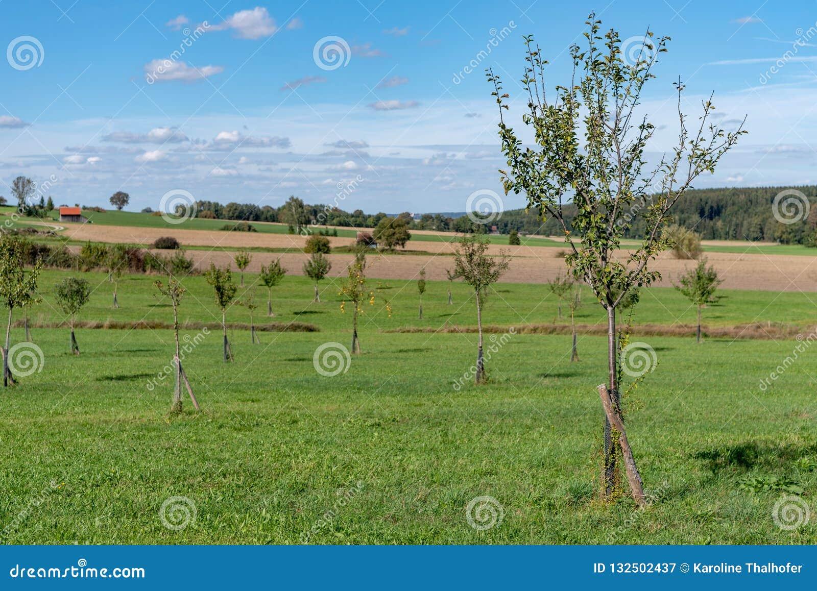在天空蔚蓝前面的年轻果树园草甸秋天