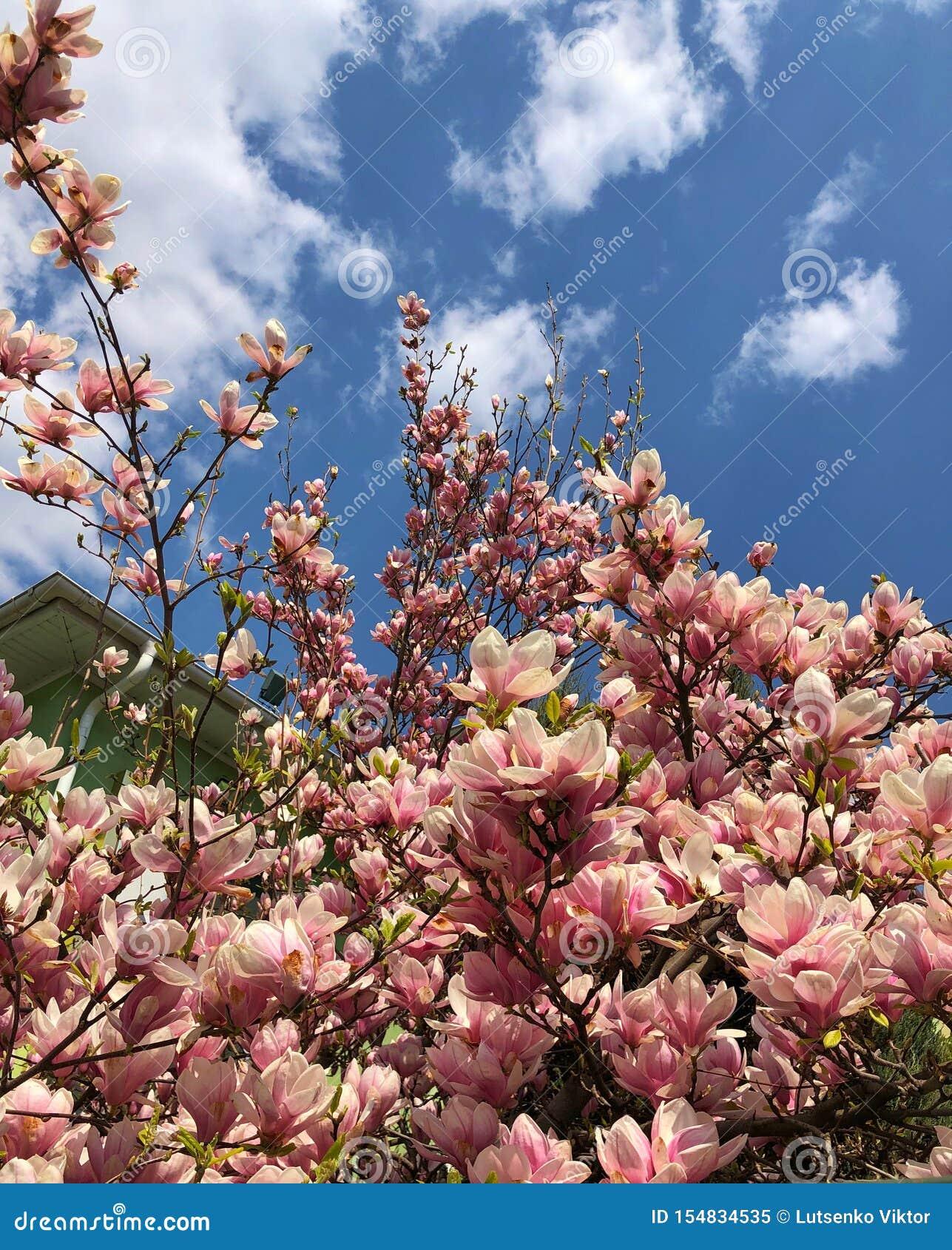 在天空蔚蓝的背景的木兰