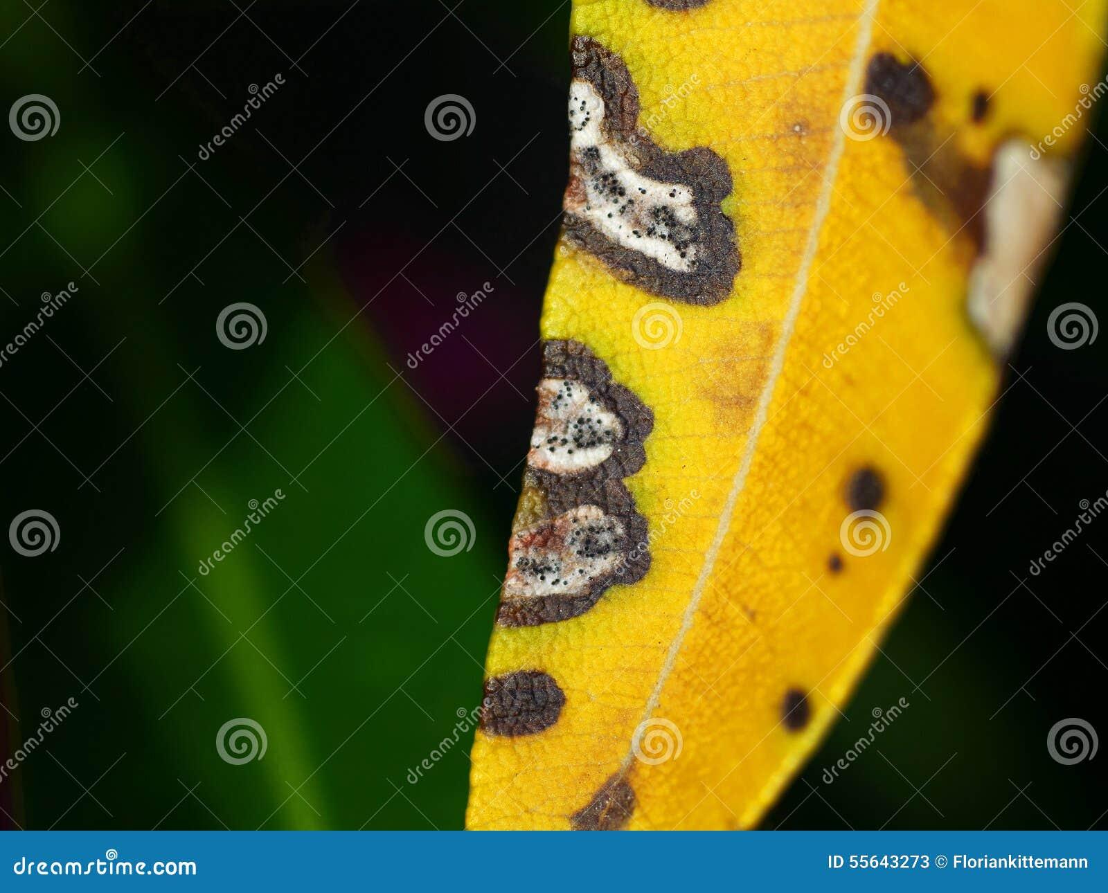 在夹竹桃的霉菌叶子斑点