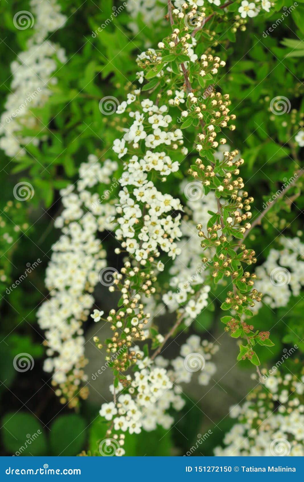 在奢侈群的小,白花沿叶茂盛斯皮雷亚灌木分支
