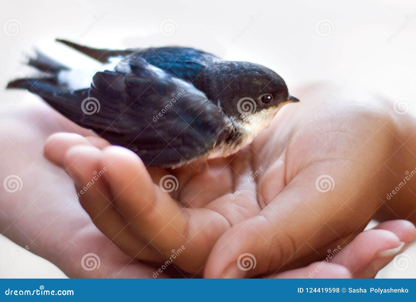 在女孩的棕榈的一刚孵出的雏 美丽的燕子鸡