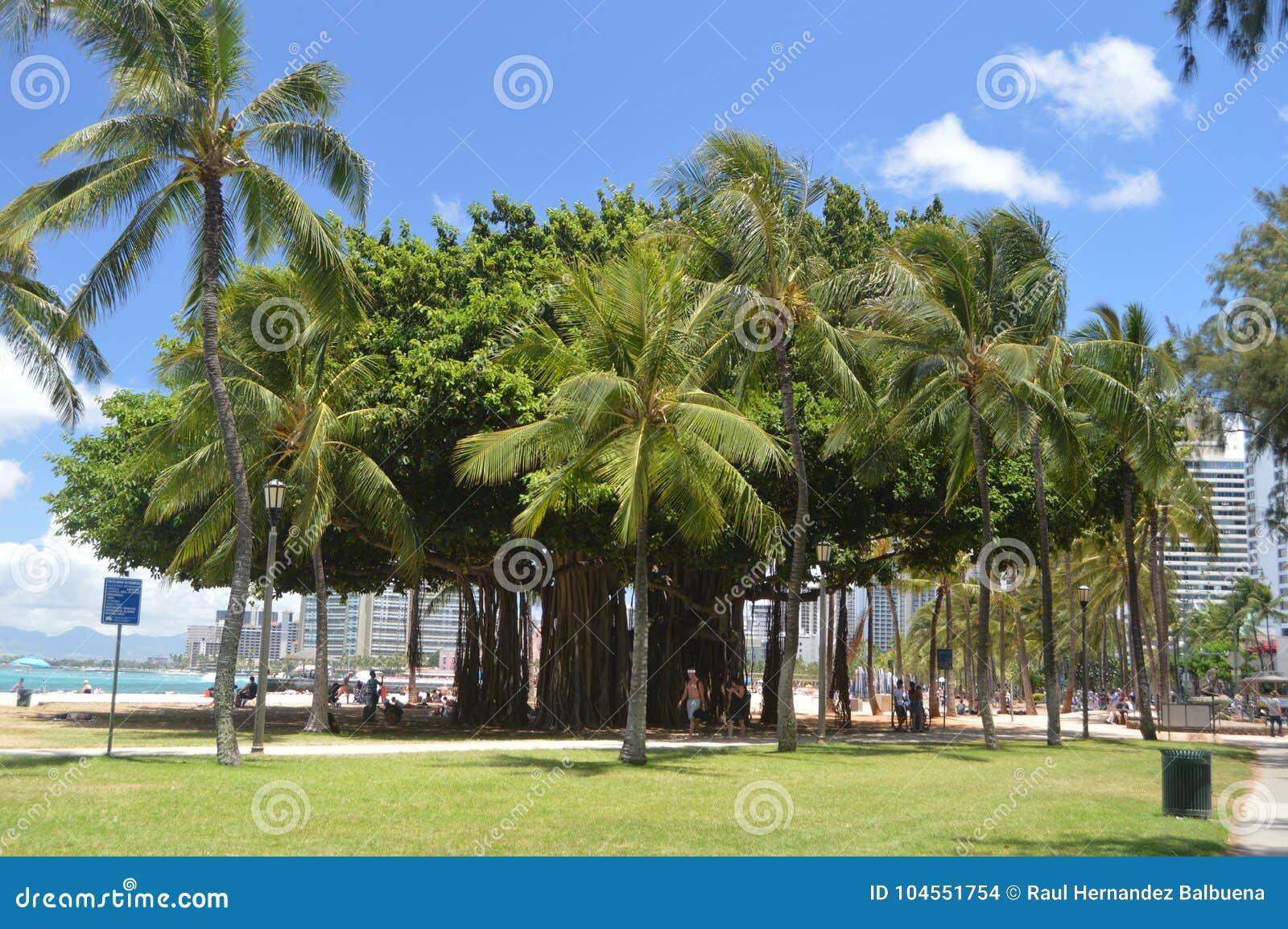 在威基基海滩的百年树