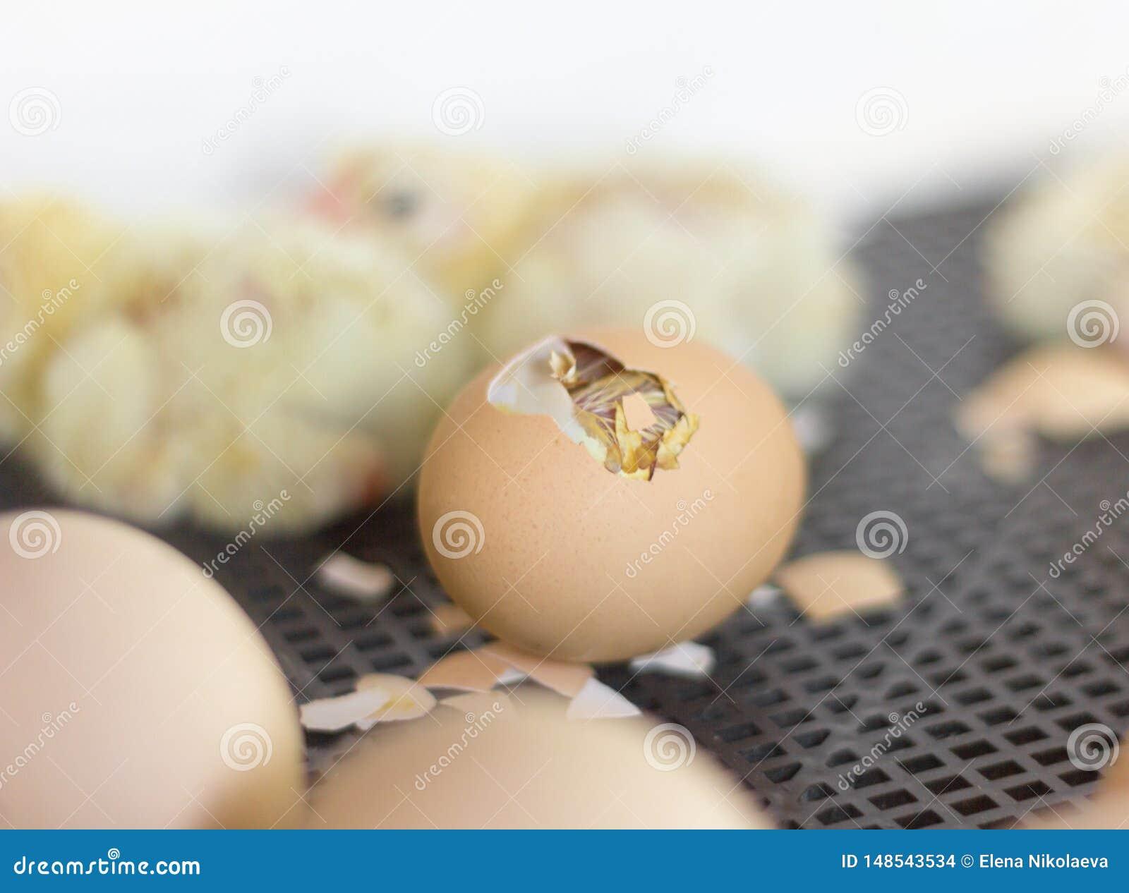 在孵养器,与您能看到一只小鸡的孔的一个鸡蛋的鸡鸡蛋