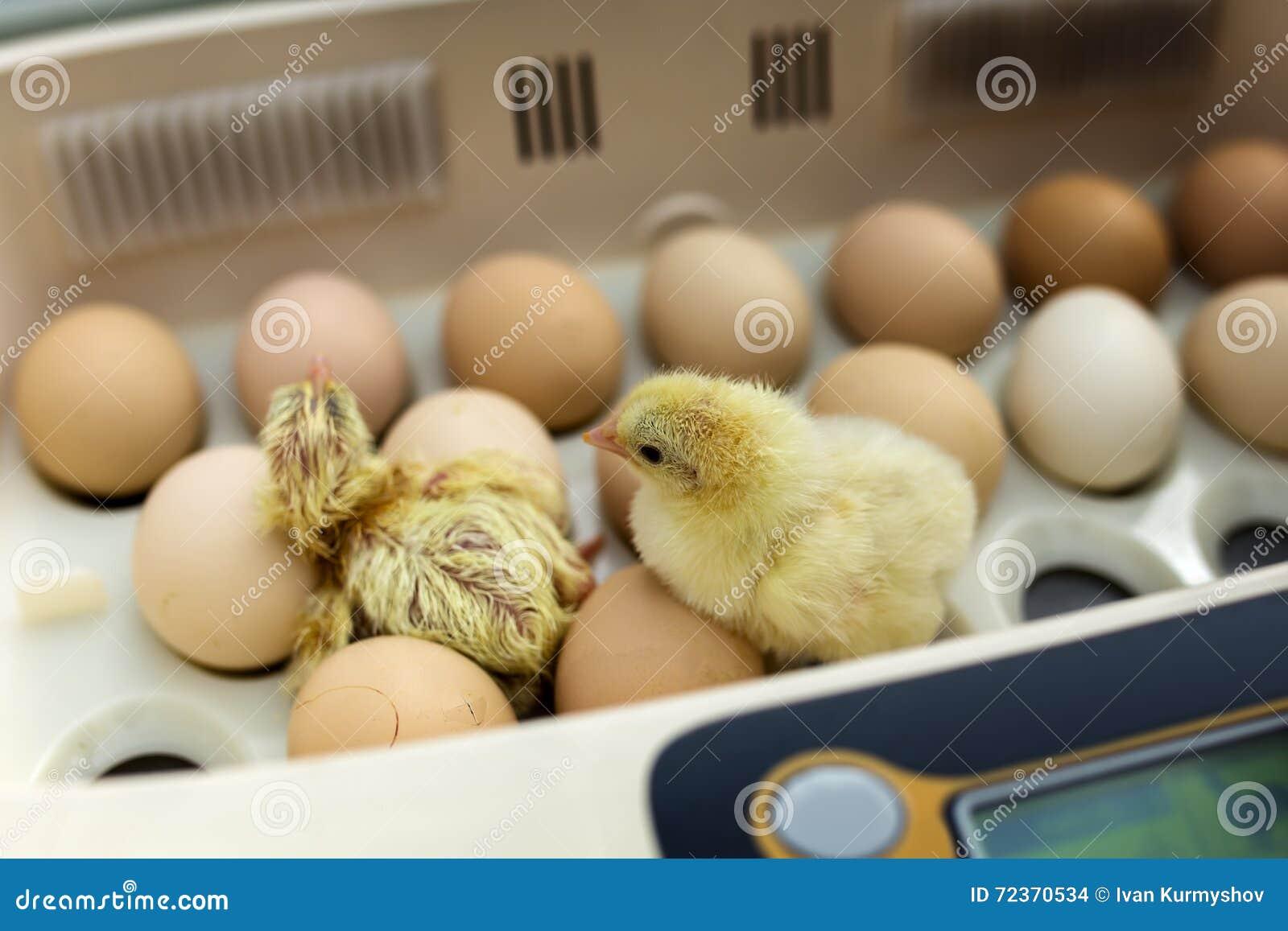 在孵养器的新出生的矮小的黄色鸡