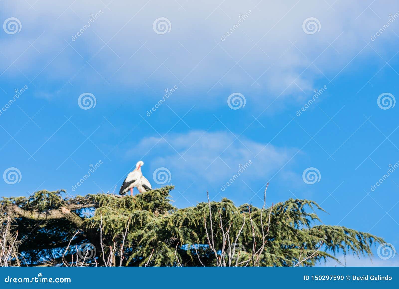 在它的巢的鹳在树