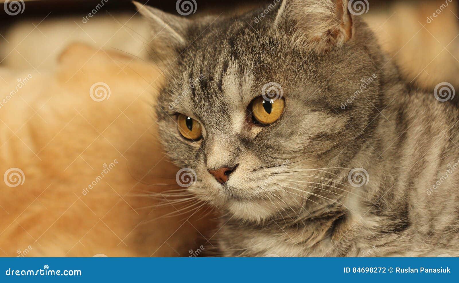 在家说谎在地板10上的猫