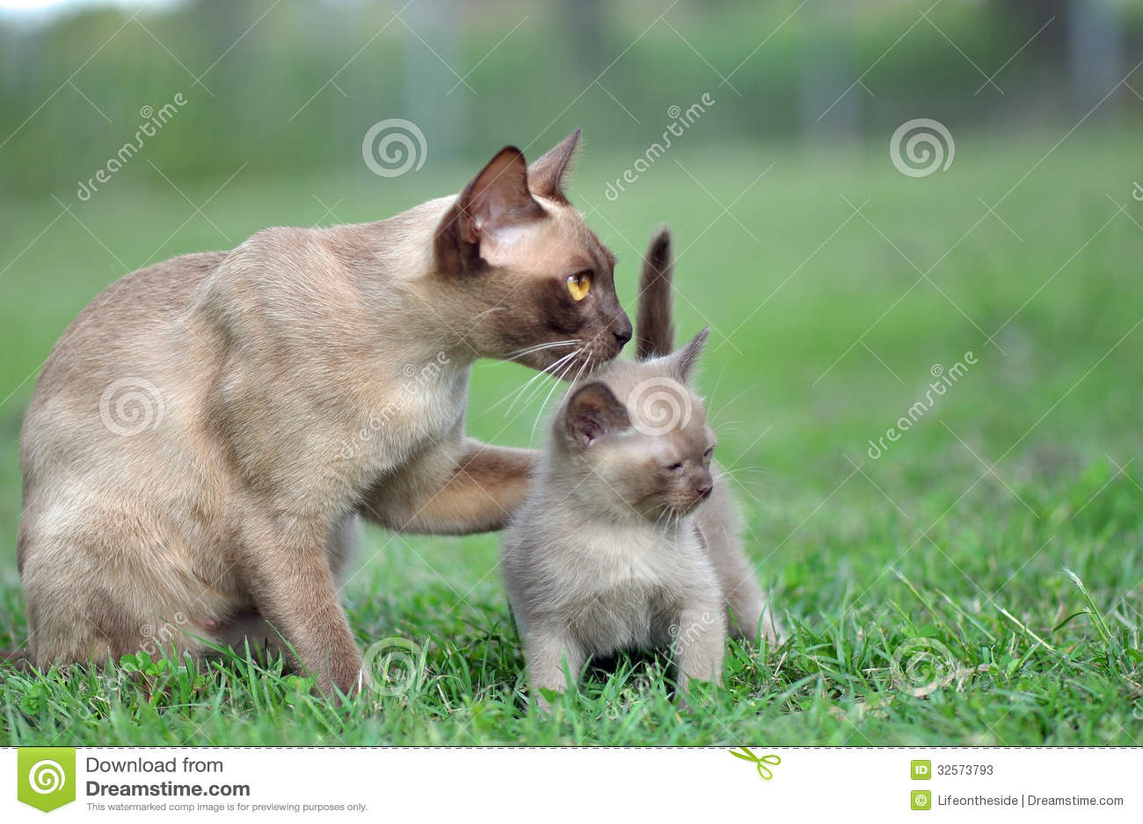 在小小猫附近的独特的画象母亲猫爪子