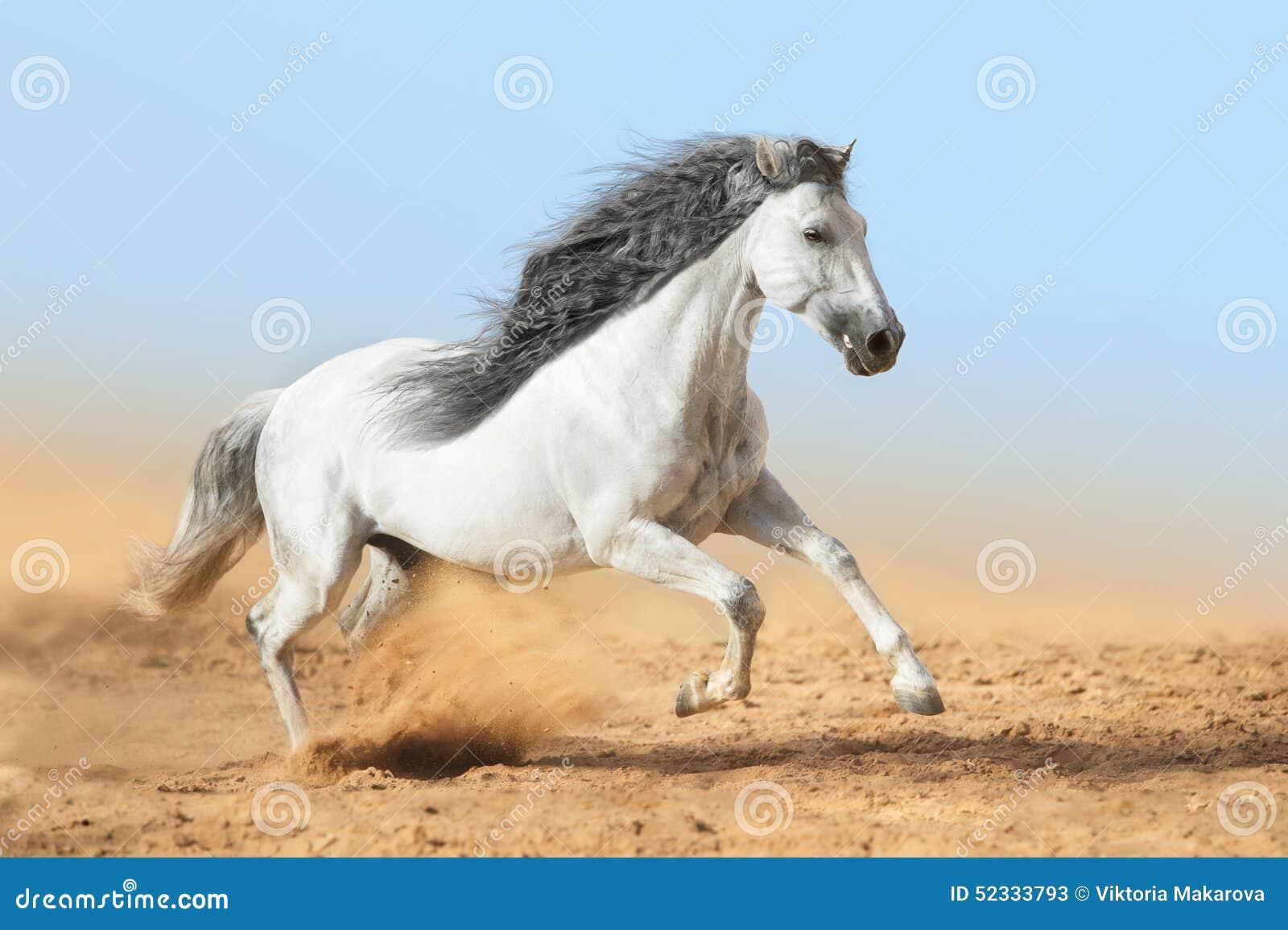 安达卢西亚马图片_在尘土的白色安达卢西亚的马奔跑 库存图片. 图片 包括有 宠物 ...