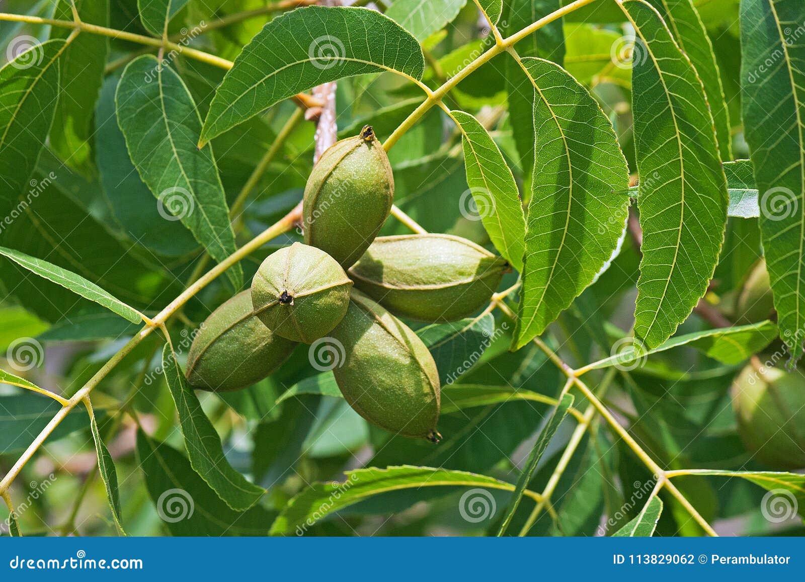 在山核桃果群的在树的光和叶子