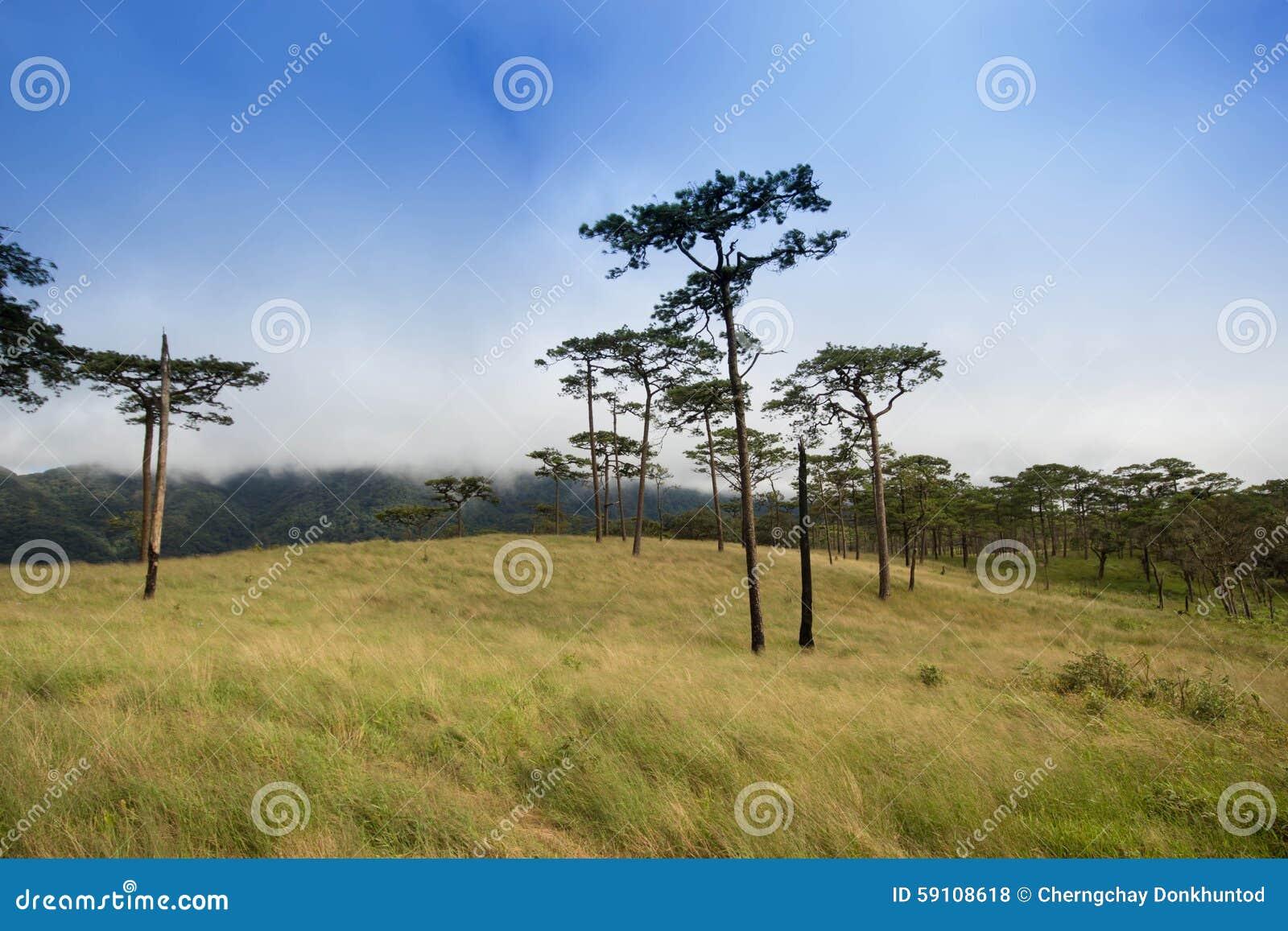 在山的杉树领域在PHU SOI DAO