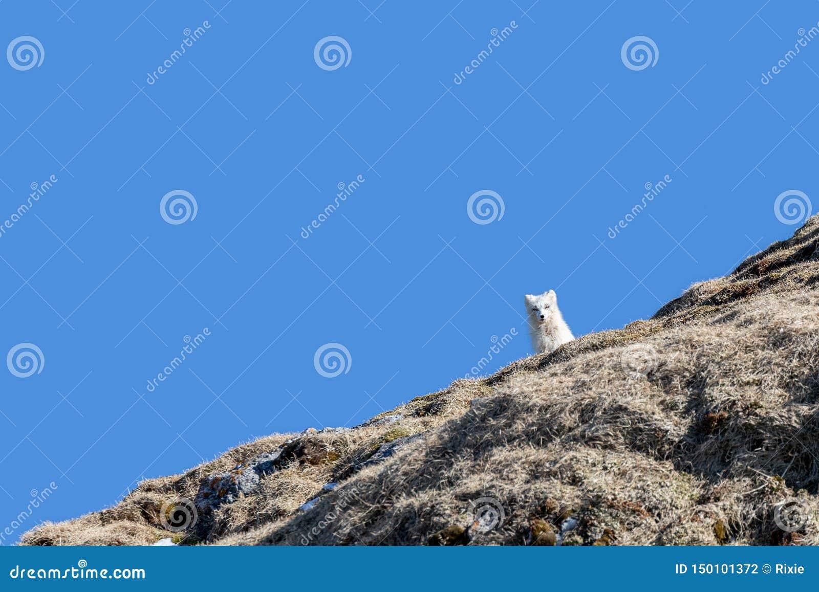 在山腰的北冰的狐狸反对天空蔚蓝背景在斯瓦尔巴特群岛