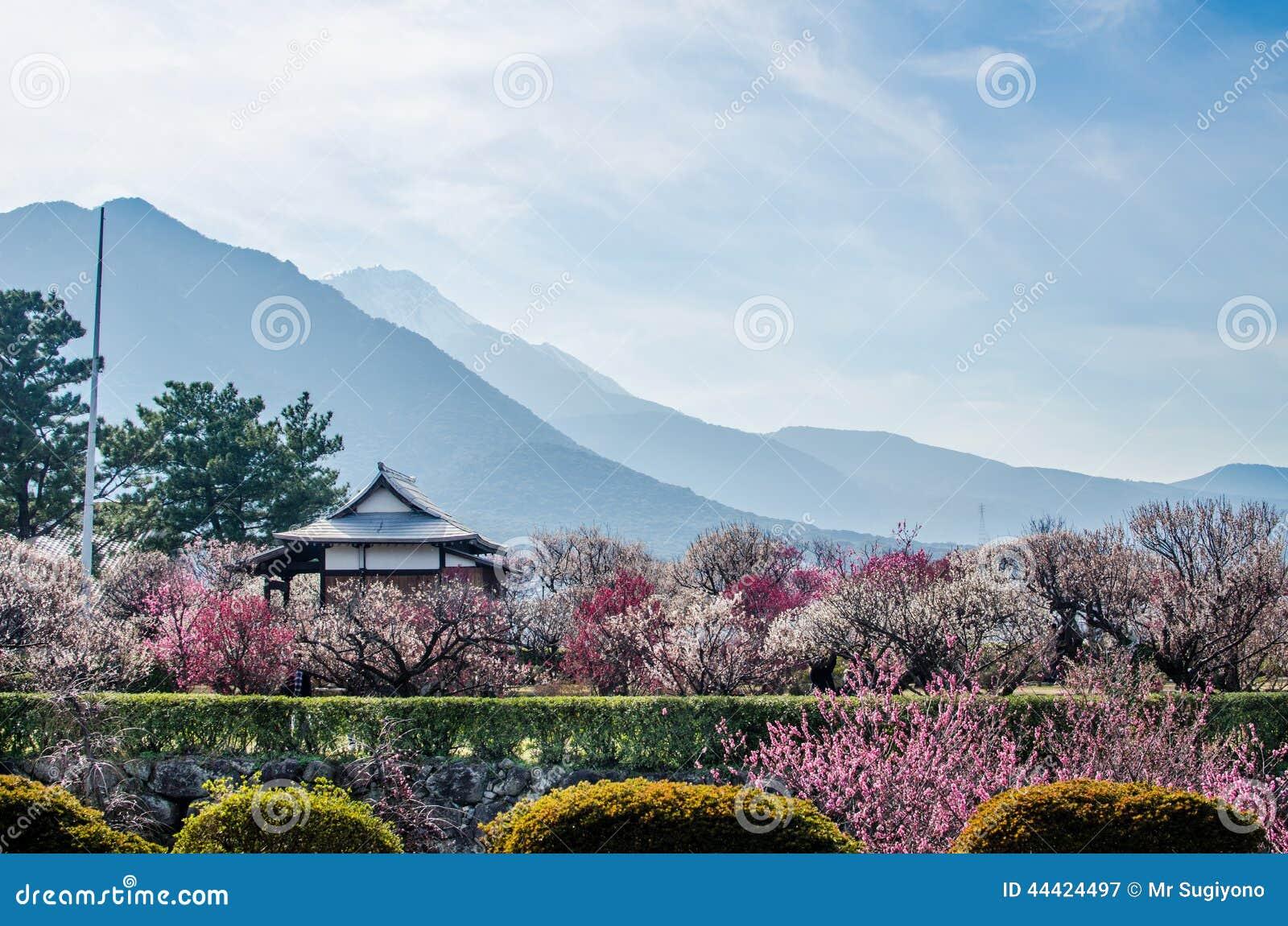 在岛原市城堡附近的李子开花在春天