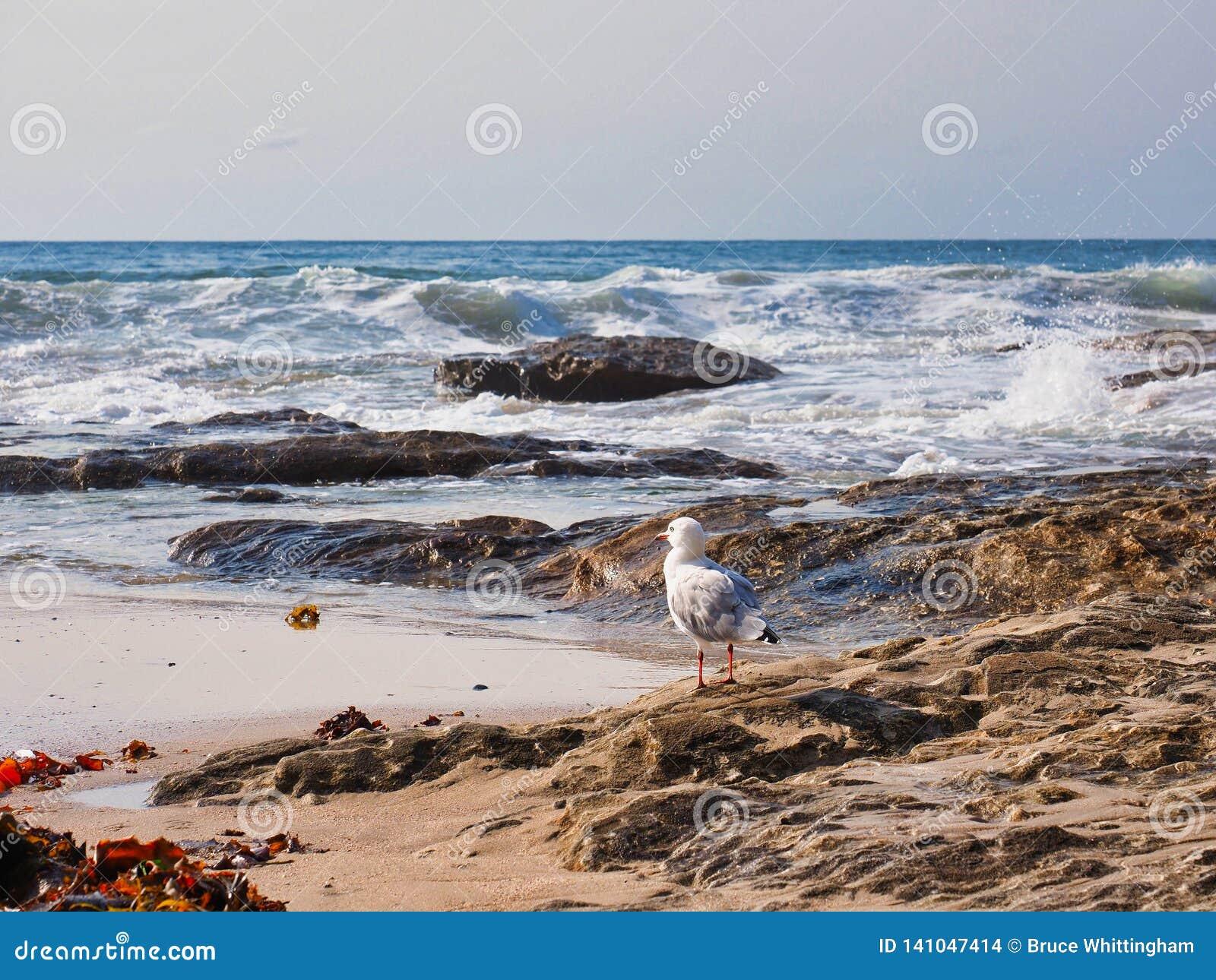 在岩石的海鸥观看重的海浪,悉尼,澳大利亚的