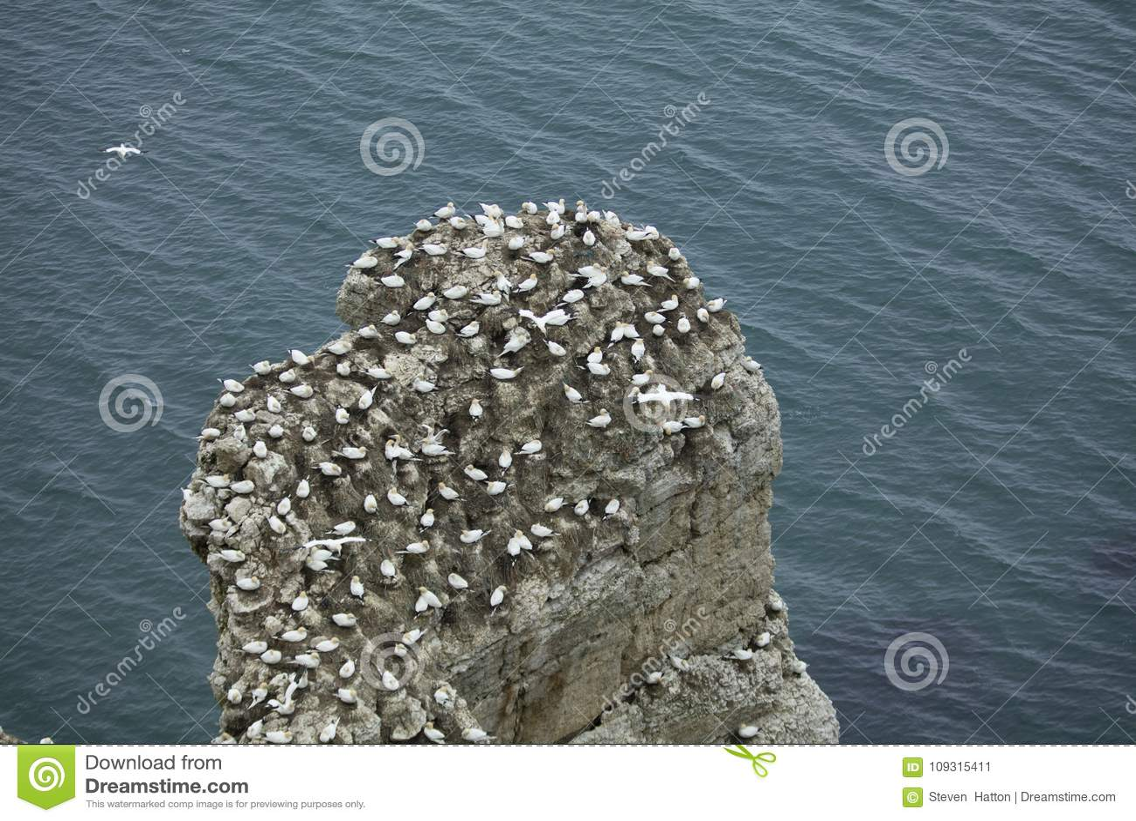 在岩石露出的Gannet嵌套在北海的在Bem附近