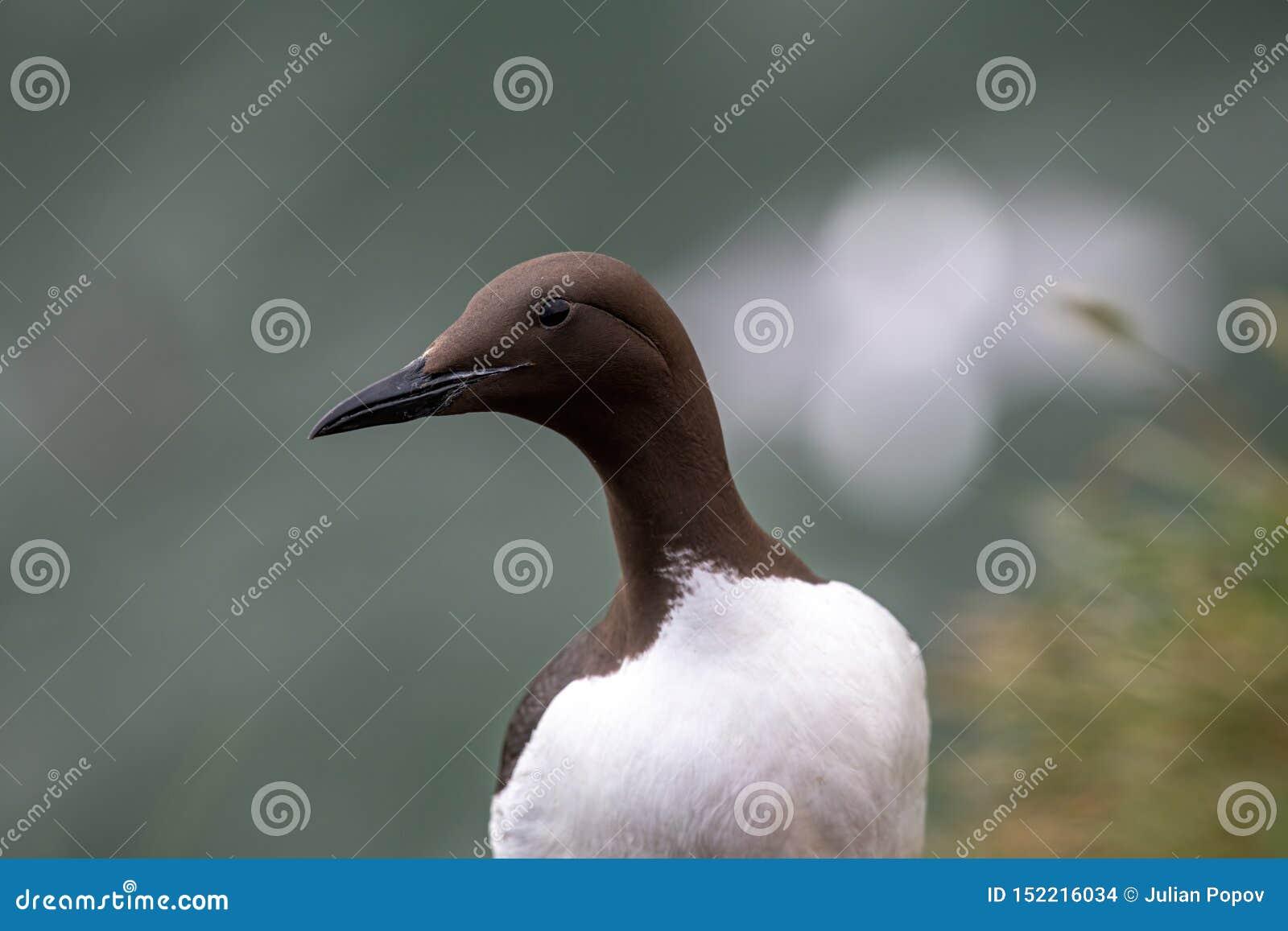 在峭壁边缘的一海雀科的鸟尿aalge在五月岛