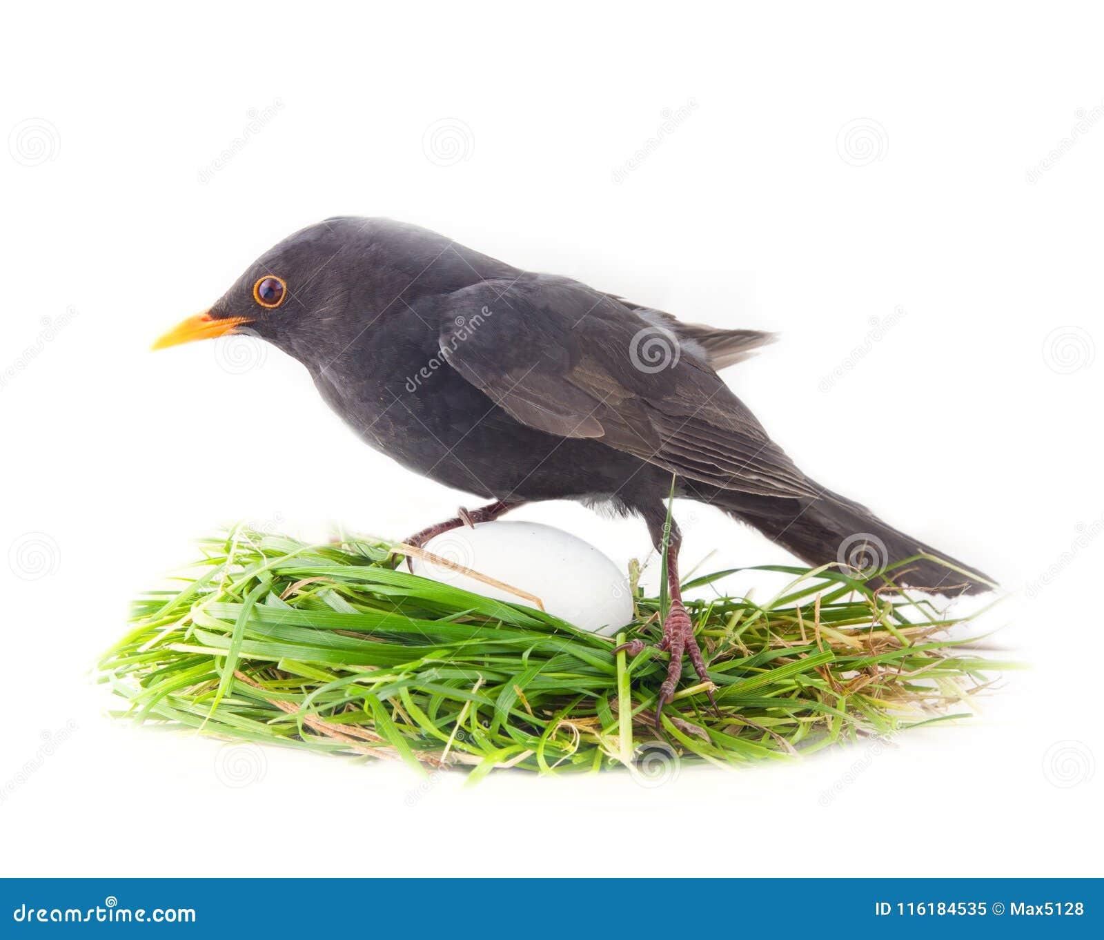 在巢的公黑鹂用不均衡地大鸡蛋