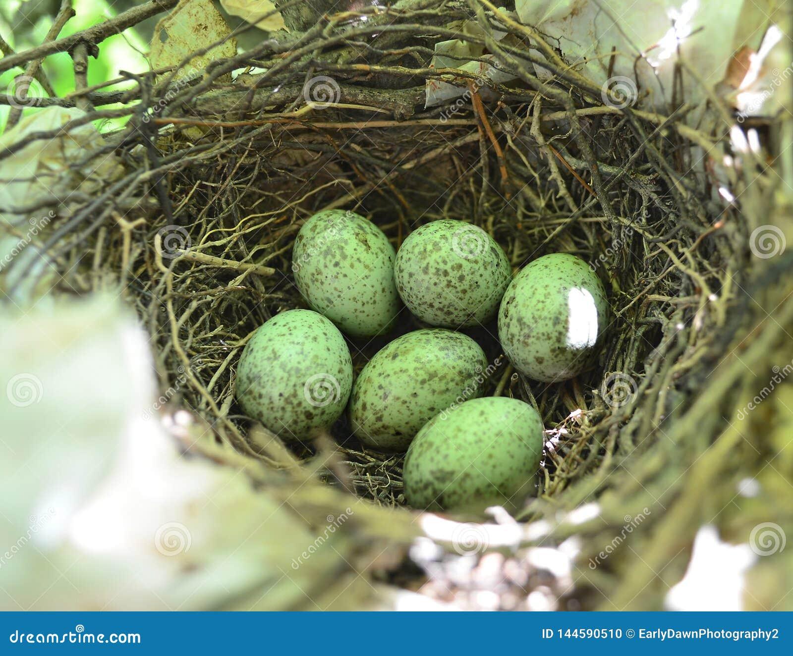 在巢的蓝鸟鸡蛋