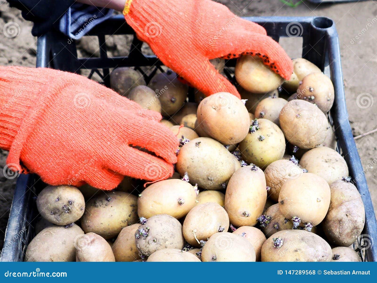 在工作手套打扮的妇女设置土豆
