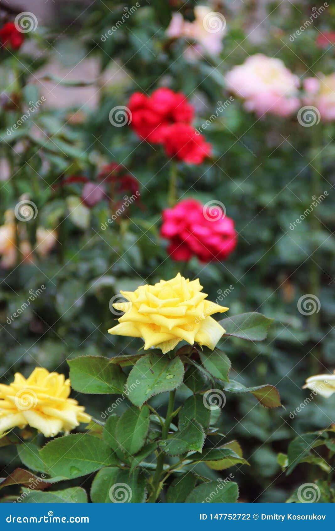 在布什的白色玫瑰色芽