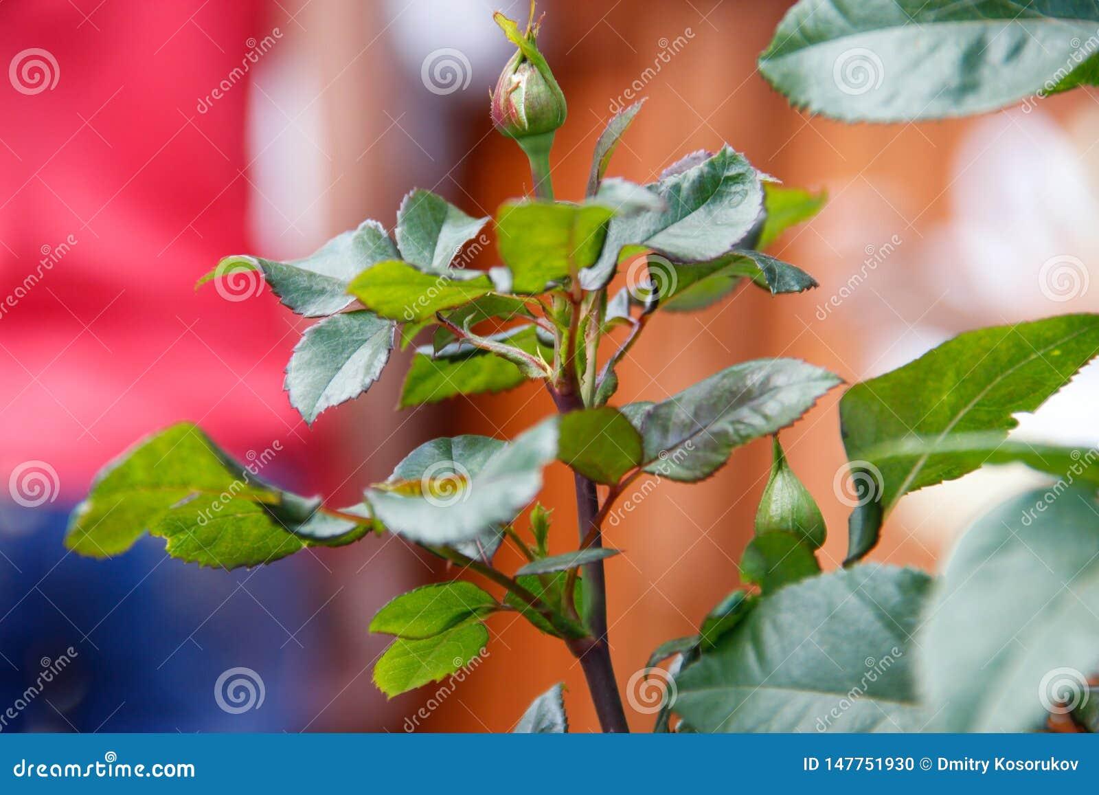 在布什的芽unblown玫瑰