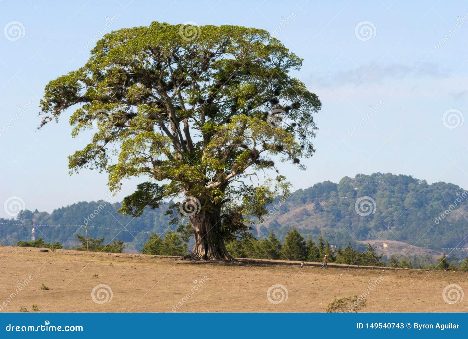 在干旱的领域中间的巨型树在危地马拉,中美洲