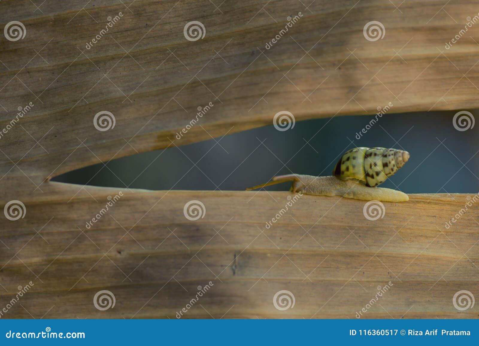 在干燥叶子的蜗牛