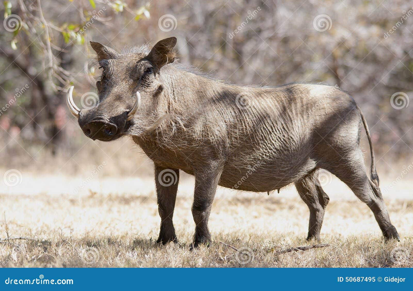 Download 在干草的Warthog在克鲁格公园 库存图片. 图片 包括有 kruger, 南部, 配置文件, 无格式 - 50687495