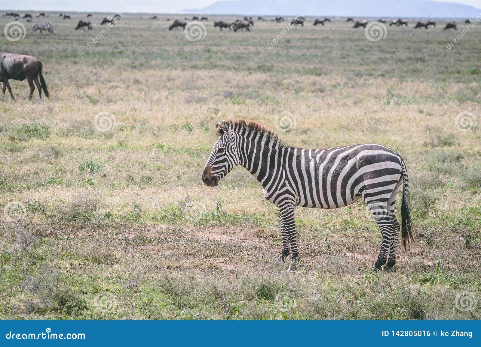在平原的斑马在非洲