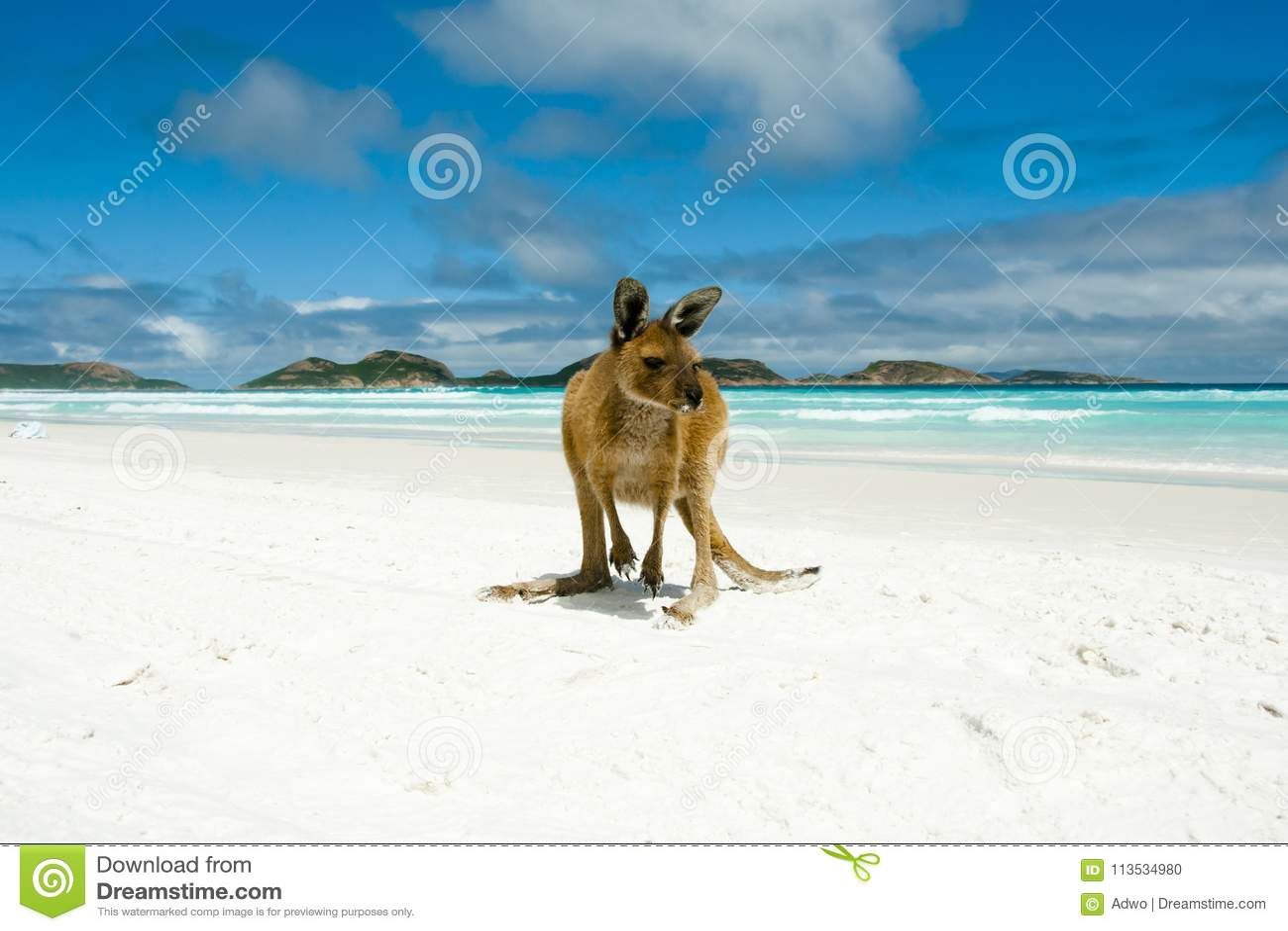 在幸运的海湾的袋鼠