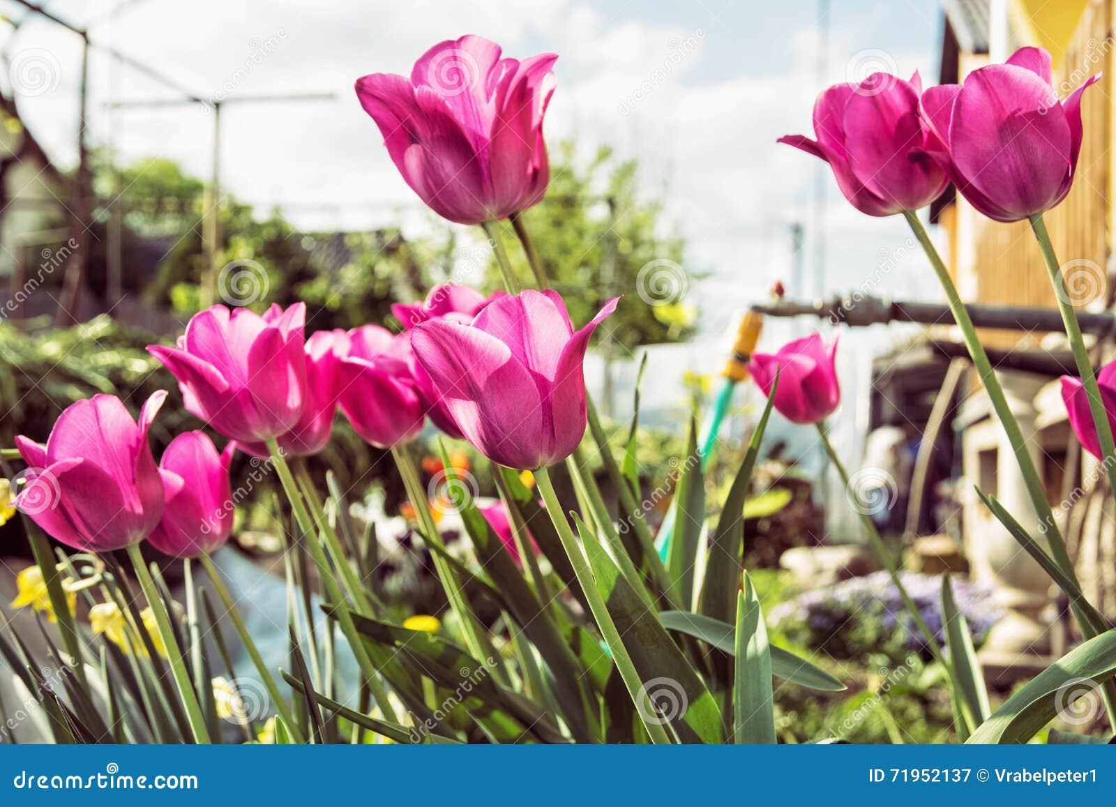 在庭院种植的开花的桃红色郁金香,季节性自然场面里