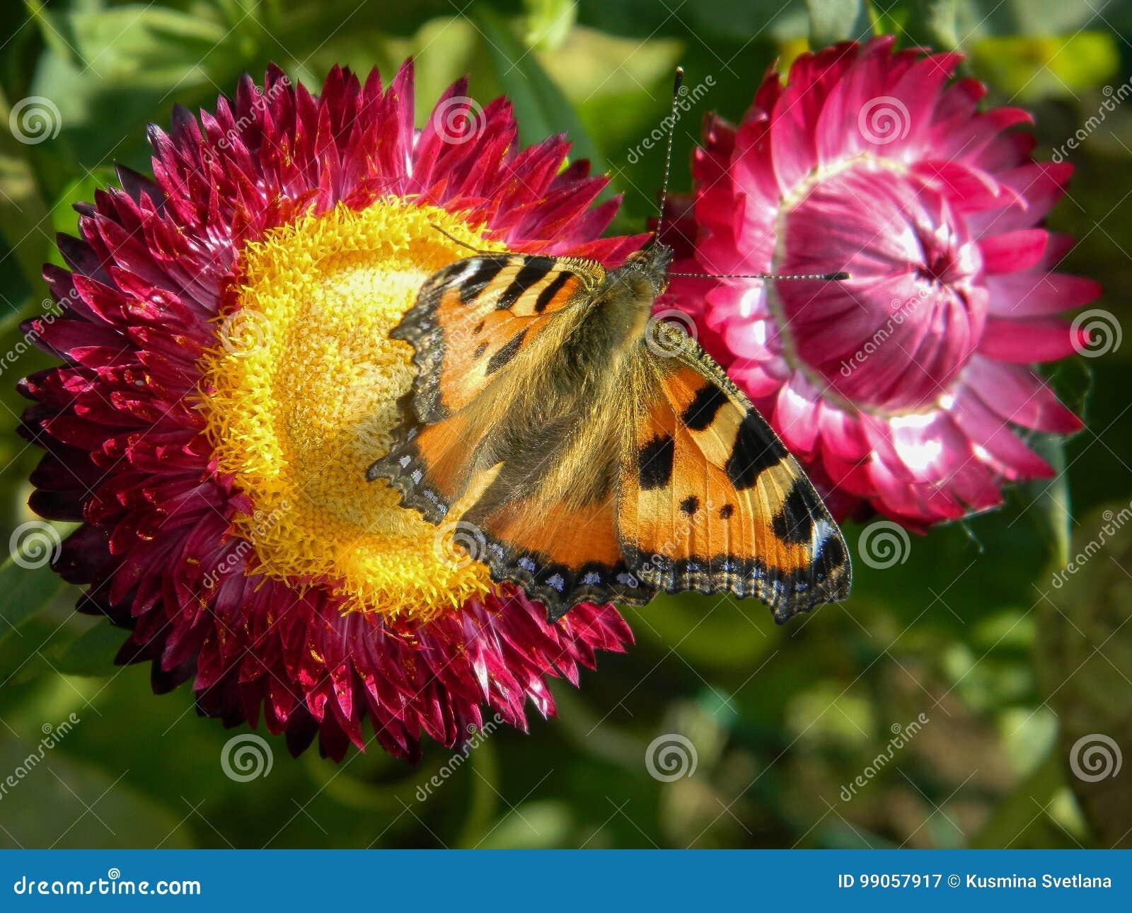 在庭院花的蝴蝶