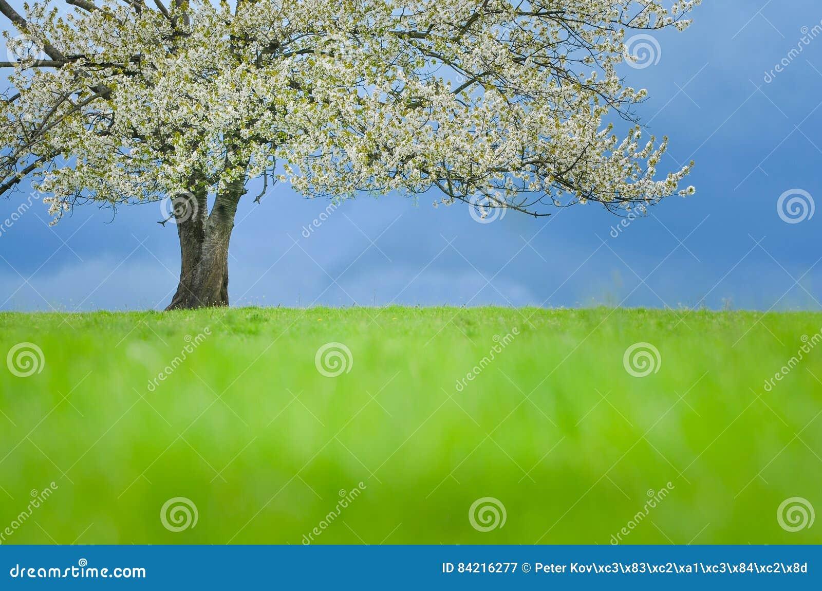 在开花的春天樱桃树在绿色草甸在蓝天下 贴墙纸在与空间的软,中立颜色您的蒙太奇的 照片