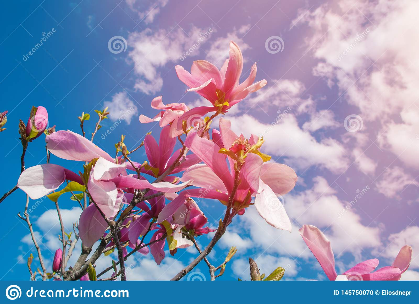在开花的木兰树 美丽的紫色花