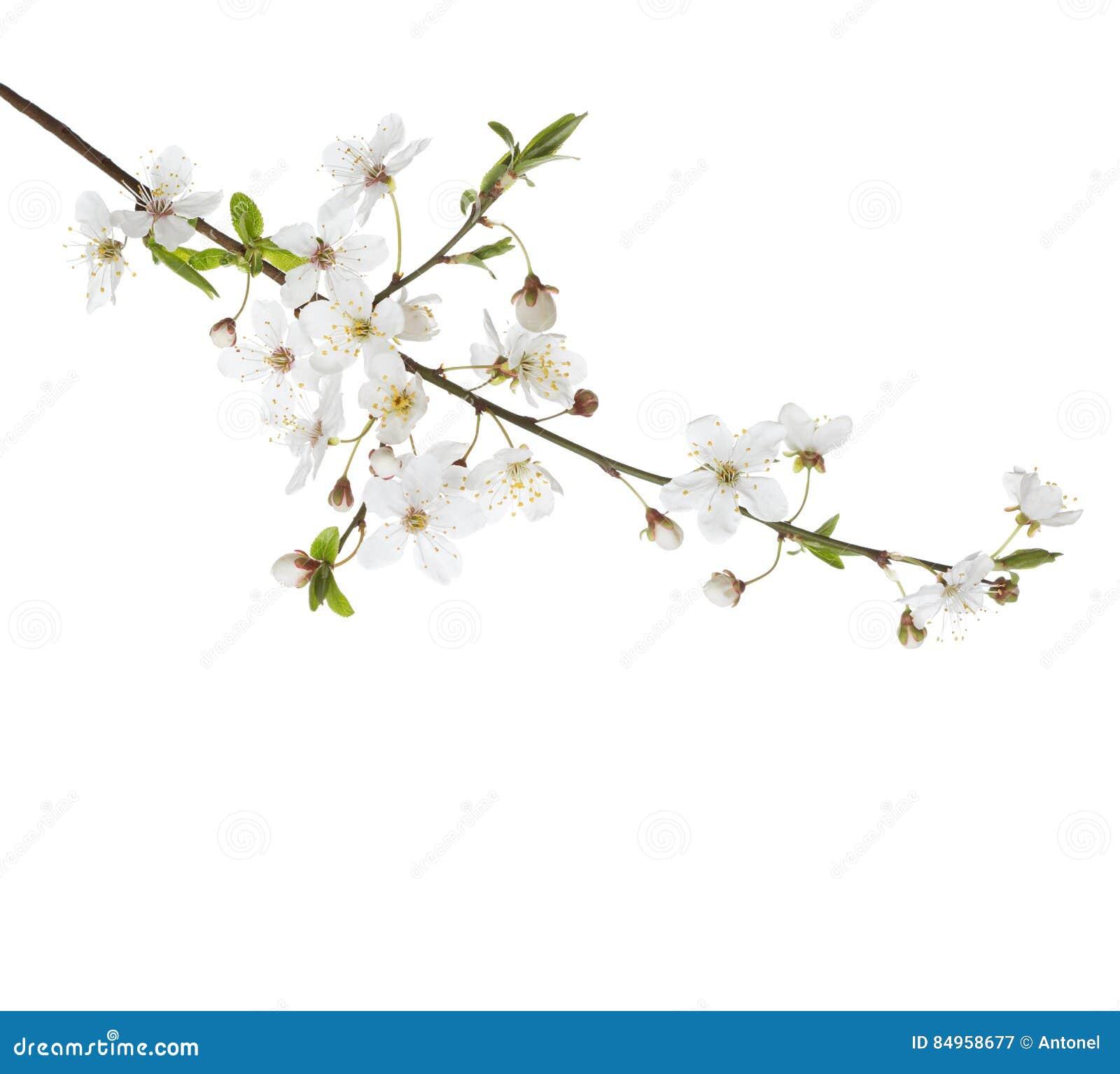 在开花的樱桃