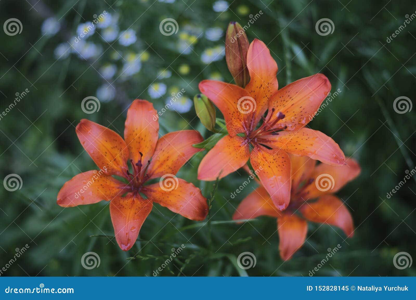 在开花的橙色百合花