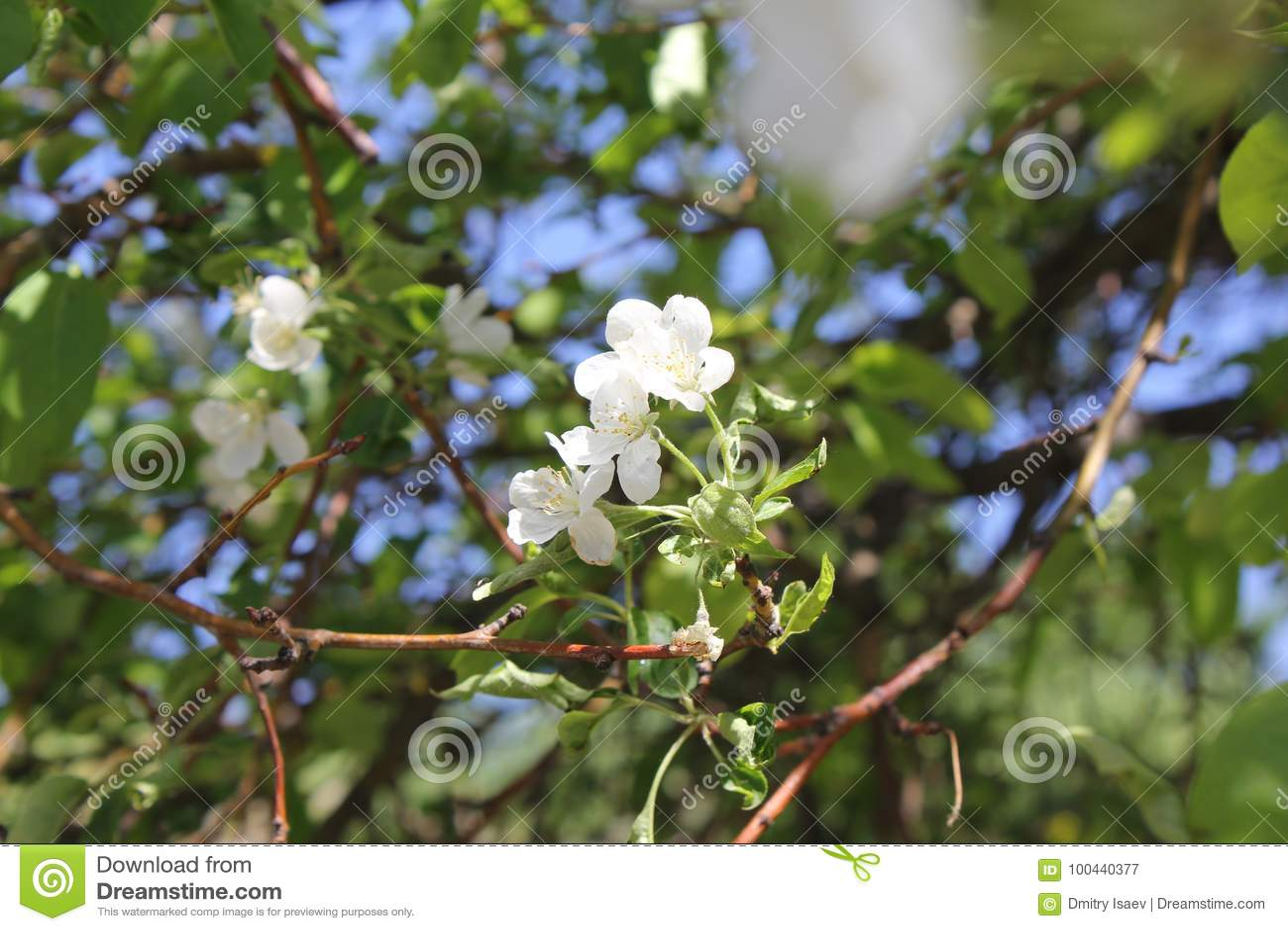 在开花的苹果树有白花的30658