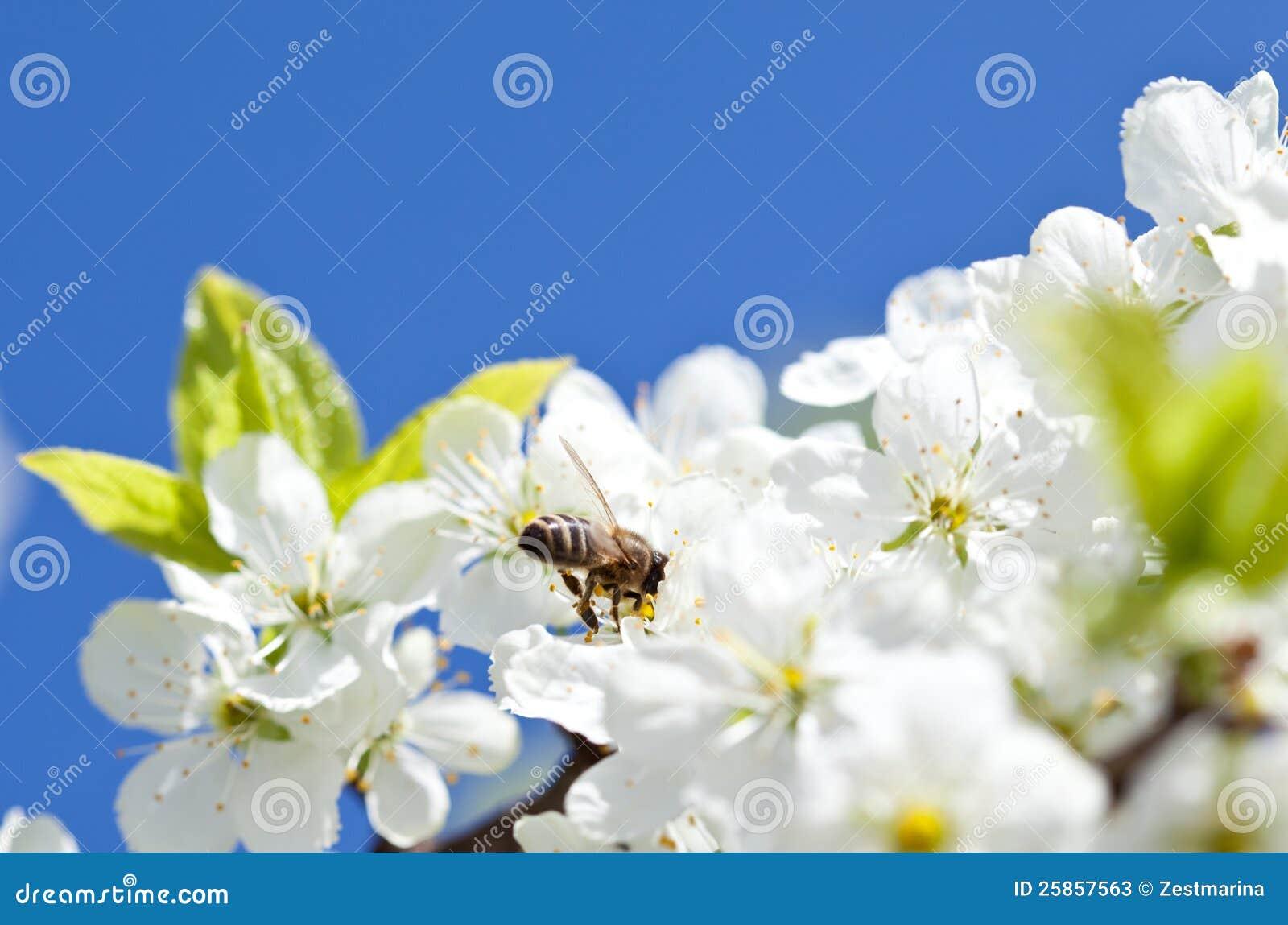 在开花的苹果树的蜂蜜蜂吃打破罐子的蜜图片