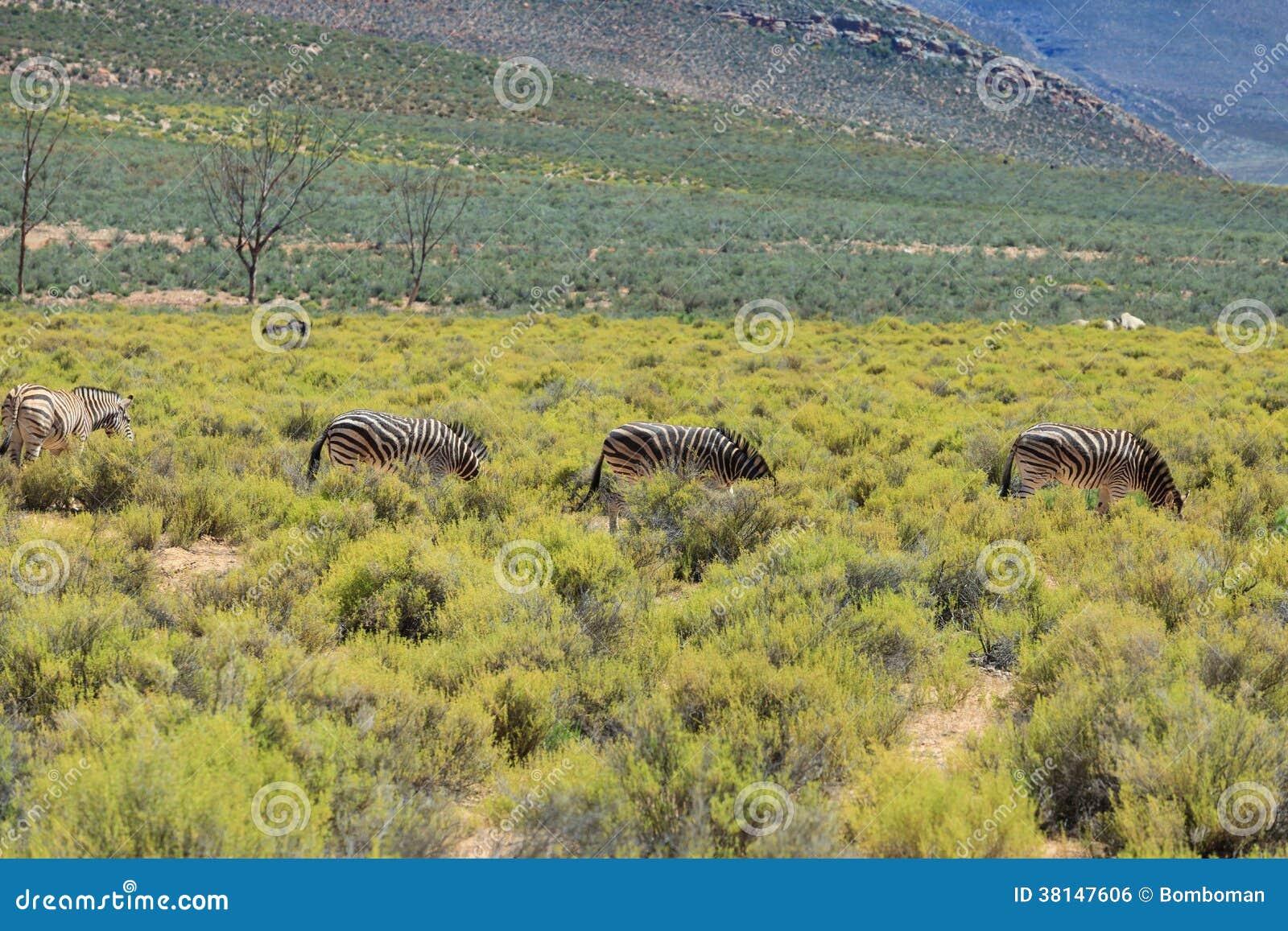 在徒步旅行队的斑马在南非