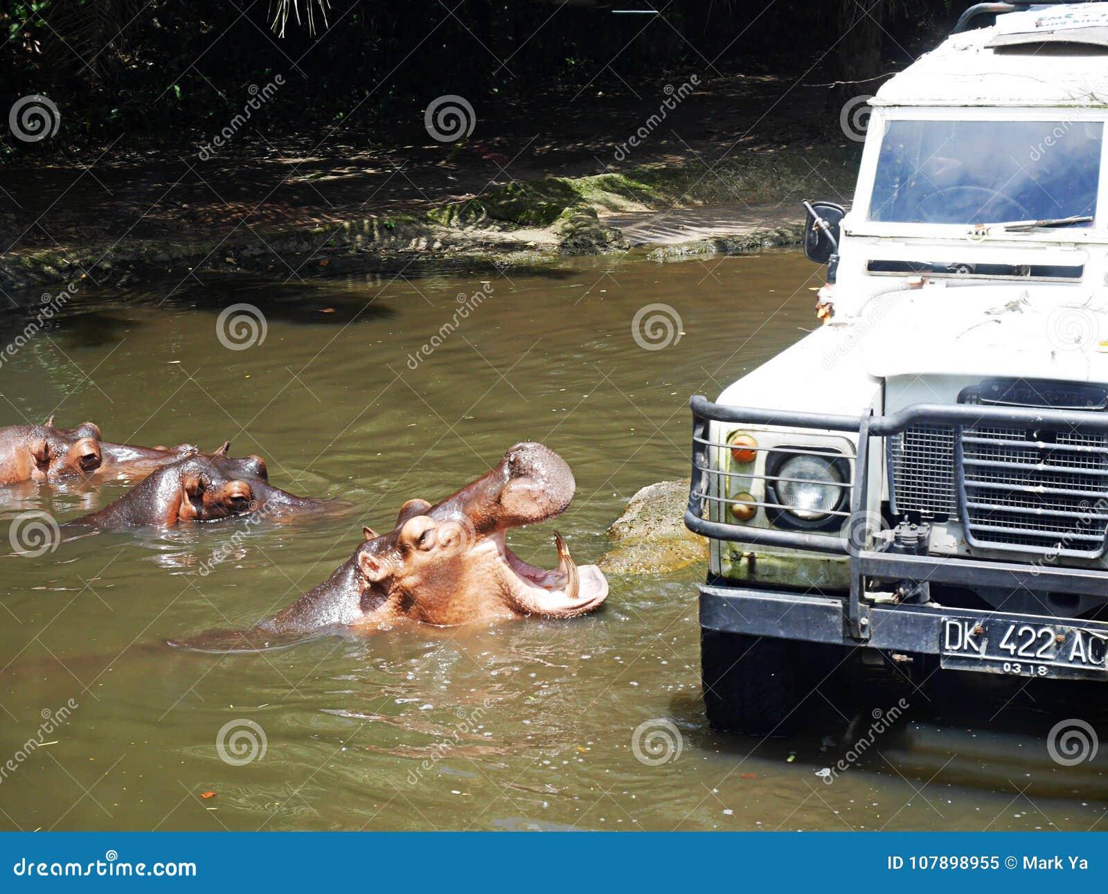 在徒步旅行队的河马在巴厘岛